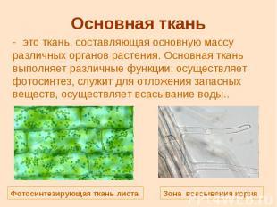 Основная ткань это ткань, составляющая основную массу различных органов растения