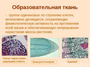 Образовательная ткань группа одинаковых по строению клеток, интенсивно делящихся