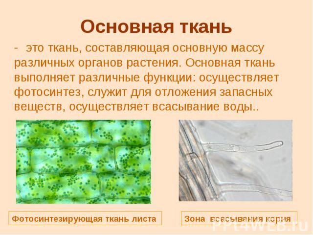 Основная ткань это ткань, составляющая основную массу различных органов растения. Основная ткань выполняет различные функции: осуществляет фотосинтез, служит для отложения запасных веществ, осуществляет всасывание воды..