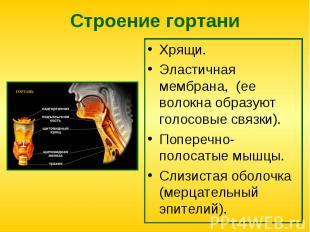 Хрящи. Хрящи. Эластичная мембрана, (ее волокна образуют голосовые связки). Попер