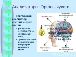 Анализаторы. Органы чувств. Зрительный анализатор состоит из трех частей: рецепт