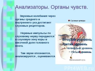 Анализаторы. Органы чувств. Звуковые колебания через органы среднего и внутренне