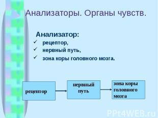 Анализаторы. Органы чувств. Анализатор: рецептор, нервный путь, зона коры головн