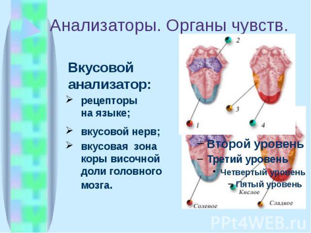 Анализаторы. Органы чувств. Вкусовой анализатор: рецепторы на языке; вкусовой нерв; вкусовая зона коры височной доли головного мозга.