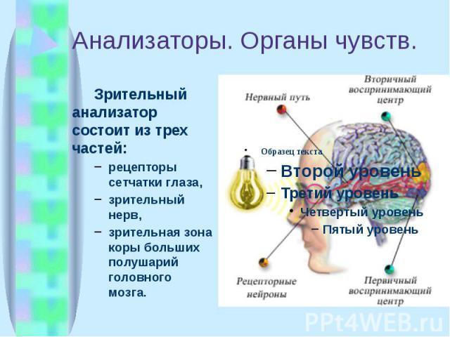Анализаторы. Органы чувств. Зрительный анализатор состоит из трех частей: рецепторы сетчатки глаза, зрительный нерв, зрительная зона коры больших полушарий головного мозга.