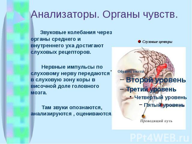Анализаторы. Органы чувств. Звуковые колебания через органы среднего и внутреннего уха достигают слуховых рецепторов. Нервные импульсы по слуховому нерву передаются в слуховую зону коры в височной доле головного мозга. Там звуки опознаются, анализир…