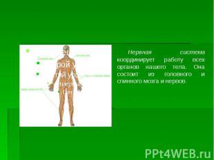 Нервная система координирует работу всех органов нашего тела. Она состоит из гол