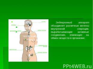 Эндокринный аппарат объединяет различные железы внутренней секреции, вырабатываю