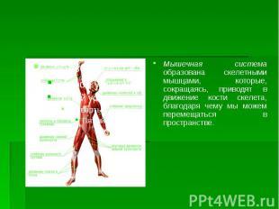 Мышечная система образована скелетными мышцами, которые, сокращаясь, приводят в