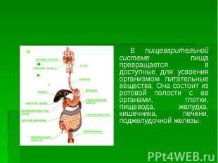 В пищеварительной системе пища превращается в доступные для усвоения организмом