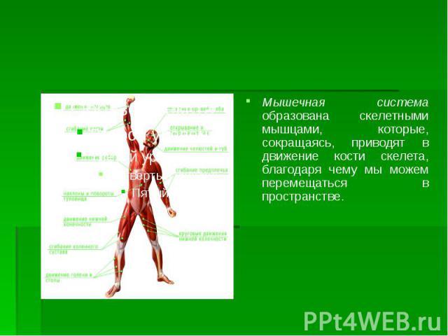 Мышечная система образована скелетными мышцами, которые, сокращаясь, приводят в движение кости скелета, благодаря чему мы можем перемещаться в пространстве. Мышечная система образована скелетными мышцами, которые, сокращаясь, приводят в движение кос…