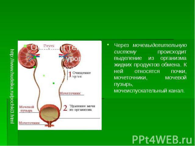 Через мочевыделительную систему происходит выделение из организма жидких продуктов обмена. К ней относятся почки, мочеточники, мочевой пузырь, мочеиспускательный канал. Через мочевыделительную систему происходит выделение из организма жидких продукт…