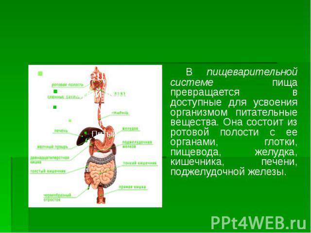 В пищеварительной системе пища превращается в доступные для усвоения организмом питательные вещества. Она состоит из ротовой полости с ее органами, глотки, пищевода, желудка, кишечника, печени, поджелудочной железы. В пищеварительной системе пища пр…