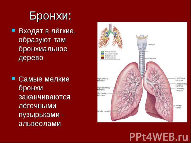 Бронхи: Входят в лёгкие, образуют там бронхиальное дерево Самые мелкие бронхи заканчиваются лёгочными пузырьками - альвеолами