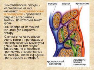 Лимфатические сосуды - мельчайшие из них называют лимфатическими капиллярами - п