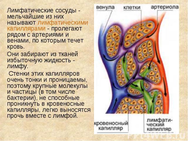Лимфатические сосуды - мельчайшие из них называют лимфатическими капиллярами - пролегают рядом с артериями и венами, по которым течет кровь. Лимфатические сосуды - мельчайшие из них называют лимфатическими капиллярами - пролегают рядом с артериями и…