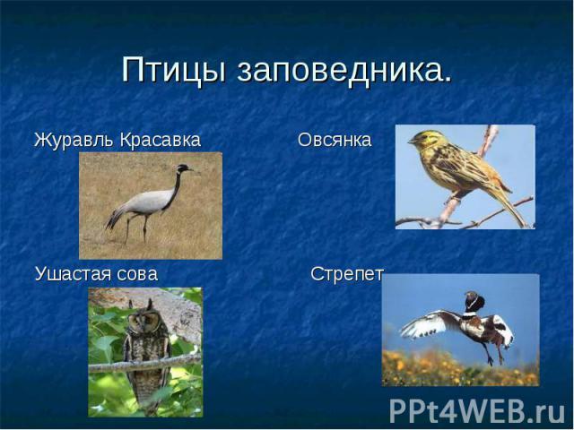 Птицы заповедника. Журавль Красавка
