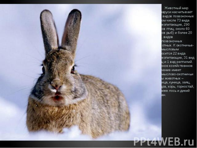 Животный мир Беларуси насчитывает 457 видов позвоночных (в том числе 73 вида млекопитающих, 290 видов птиц, около 60 видов рыб) и более 20 тыс. видов беспозвоночных животных. К охотничье-промысловым относится 22 вида млекопитающих, 31 вид птиц и 1 в…