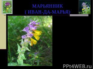 МАРЬЯННИК ( ИВАН-ДА-МАРЬЯ) Славянская легенда гласит: «Жили давным-давно брат и