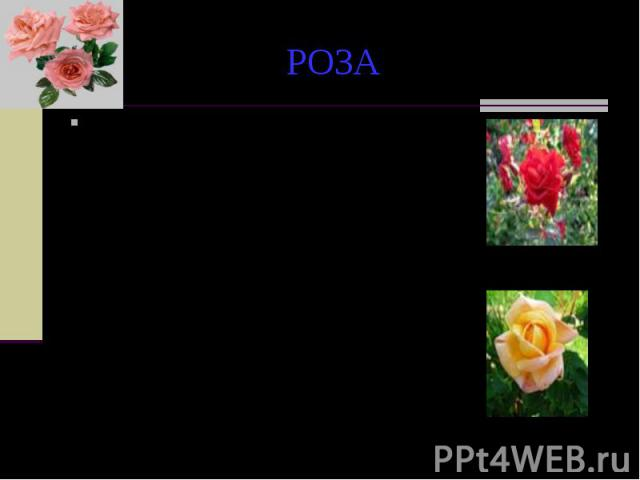 РОЗА По другой легенде, белая роза сделалась красной во время одного из пиршеств богов на Олимпе. Порхая в веселом танце. Амур как-то нечаянно опрокинул своими розово-красными крылышками сосуд с нектаром, который, разлившись на цветшие тут же белые …