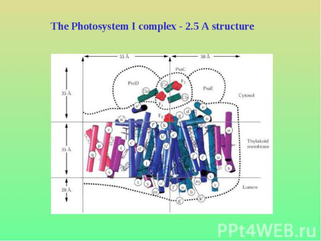 The Photosystem I complex - 2.5 A structure