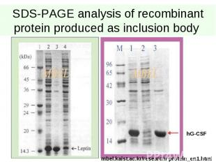 SDS-PAGE analysis of recombinant protein produced as inclusion body