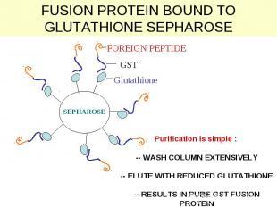 FUSION PROTEIN BOUND TO GLUTATHIONE SEPHAROSE