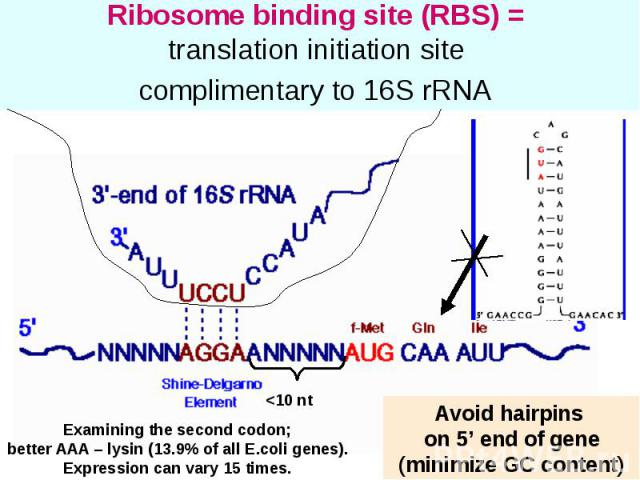 Ribosome binding site (RBS) = translation initiation site complimentary to 16S rRNA