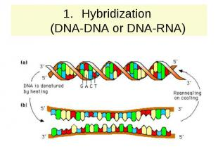 Hybridization (DNA-DNA or DNA-RNA)