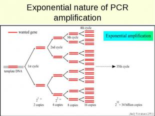 Exponential nature of PCR amplification
