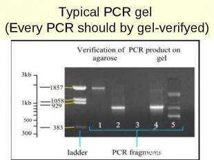 Typical PCR gel (Every PCR should by gel-verifyed)
