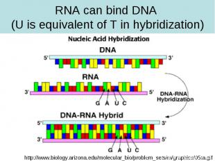 RNA can bind DNA (U is equivalent of T in hybridization)