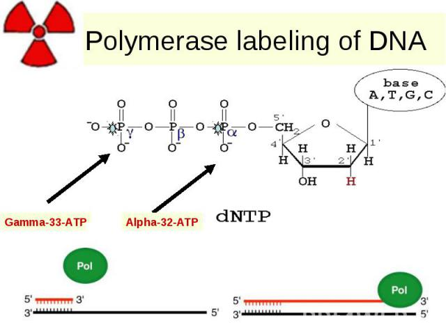 Polymerase labeling of DNA