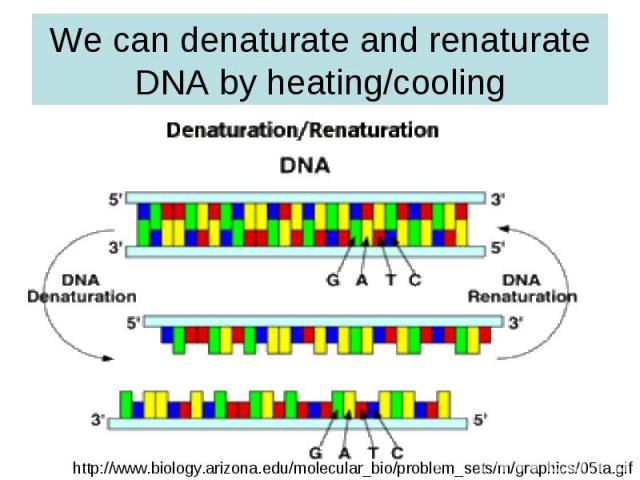 We can denaturate and renaturate DNA by heating/cooling