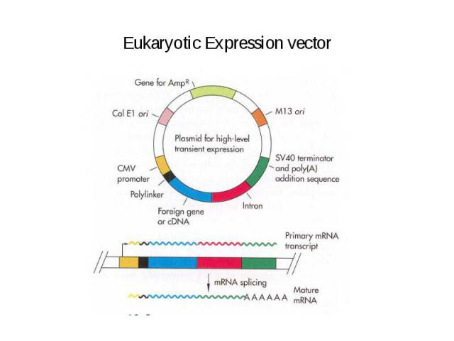 Eukaryotic Expression vector