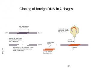 Cloning of foreign DNA in λ phages.