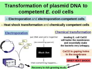 Transformation of plasmid DNA to competent E. coli cells