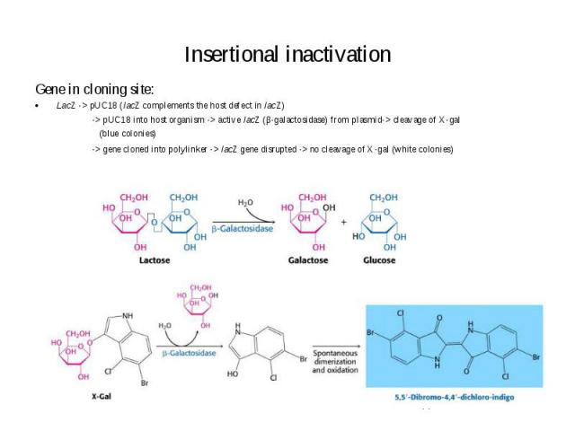 Insertional inactivation Gene in cloning site: LacZ -> pUC18 (lacZ complements the host defect in lacZ) -> pUC18 into host organism -> active lacZ (β-galactosidase) from plasmid-> cleavage of X-gal (blue colonies) -> gene cloned into …