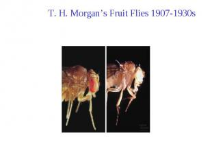 T. H. Morgan's Fruit Flies 1907-1930s