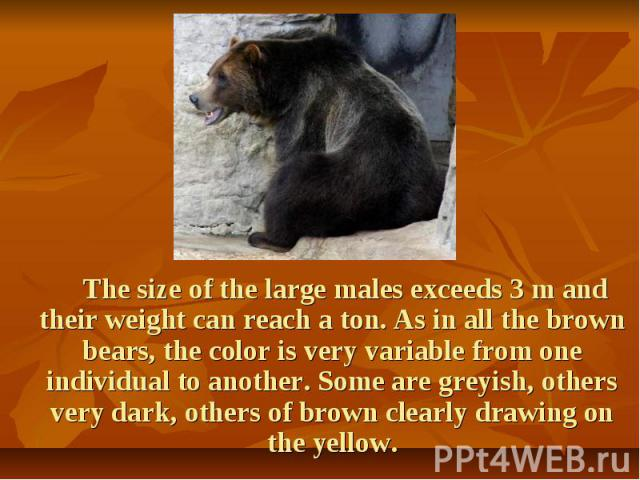 The size of the large males exceeds 3 m and their weight can reach a ton. As in all the brown bears, the color is very variable from one individual to another. Some are greyish, others very dark, others of brown clearly drawing on the yellow. The si…