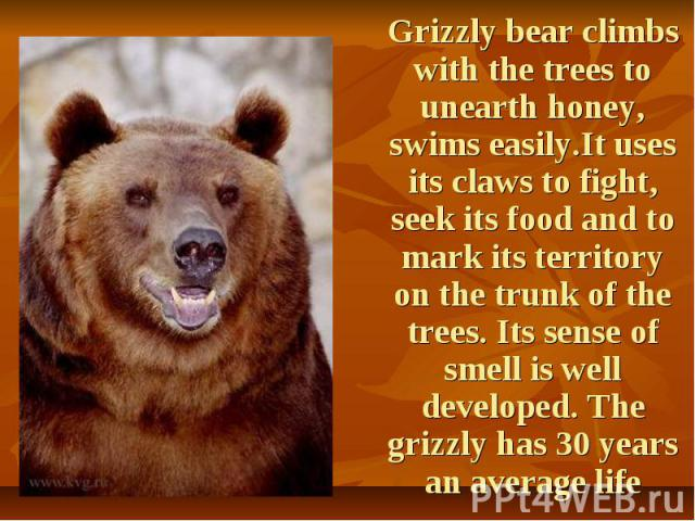 Grizzly bear climbs with the trees to unearth honey, swims easily.It uses its claws to fight, seek its food and to mark its territory on the trunk of the trees. Its sense of smell is well developed. The grizzly has 30 years an average life Grizzly b…