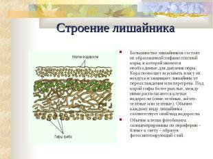 Строение лишайника Большинство лишайников состоят из образованной гифами плотной