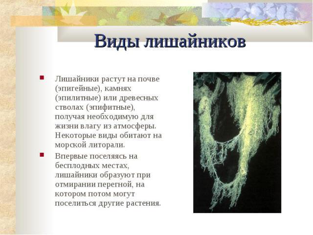 Виды лишайников Лишайники растут на почве (эпигейные), камнях (эпилитные) или древесных стволах (эпифитные), получая необходимую для жизни влагу из атмосферы. Некоторые виды обитают на морской литорали. Впеpвые поселяясь на бесплодных местах, лишайн…