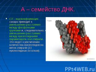 А – семейство ДНК. С3`- эндоконформация сахара приводит к уменьшению расстояния