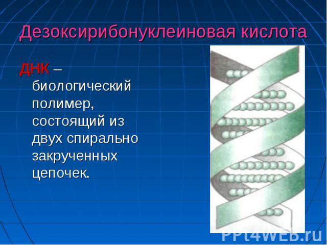 Дезоксирибонуклеиновая кислота ДНК –биологический полимер, состоящий из двух спирально закрученных цепочек.