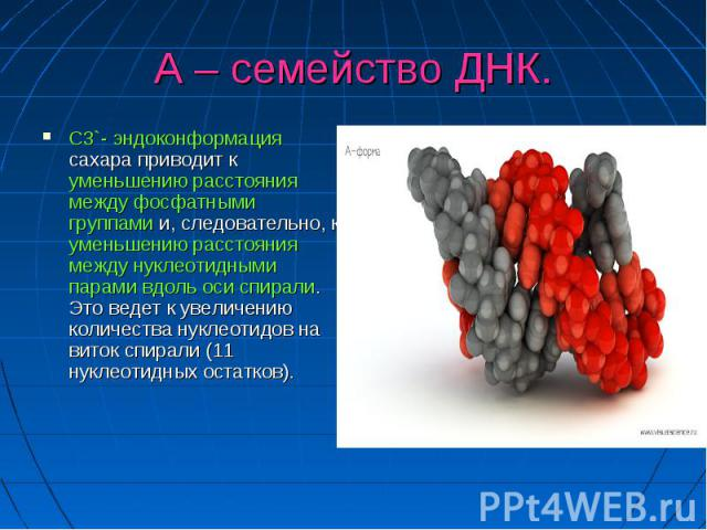 А – семейство ДНК. С3`- эндоконформация сахара приводит к уменьшению расстояния между фосфатными группами и, следовательно, к уменьшению расстояния между нуклеотидными парами вдоль оси спирали. Это ведет к увеличению количества нуклеотидов на виток …