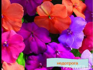 Текст № 4 Недотрога. Растение НЕДОТРОГА получило такое название за своё поведени