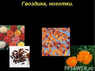 Гвоздика, ноготки. Семена гвоздики напоминают маленькие гвоздики, а семена ногот