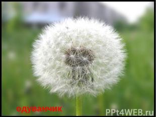 одуванчик Есть один такой цветок, Не вплетешь его в венок, На него подуй слегка,