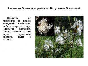 Растения болот и водоёмов. Багульник болотный Средство от инфекций во время эпид